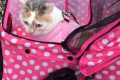 Kali-Ma the Cat in her Therapy Cat Stroller