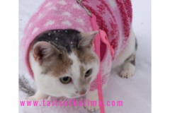 Kali-Ma the Cat out walking in the snow