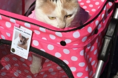 Kali-Ma the Cat in her Stroller on her way to Cat Therapy