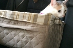 Kali-Ma in back seat in pet booster seat